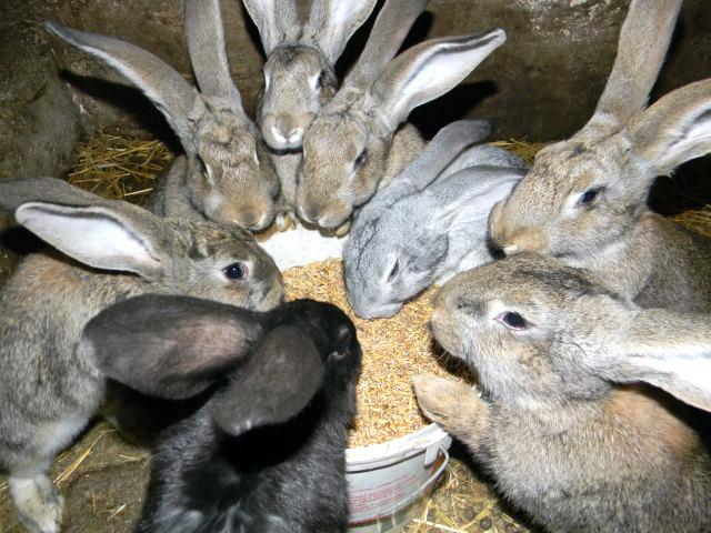 hodowla, króliki, zboże, kojec