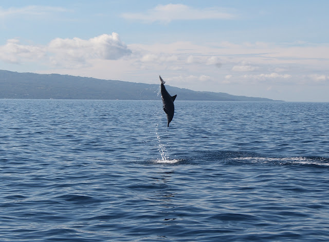 a dolphin shows off in Bais