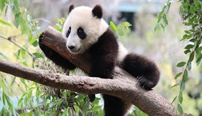 Syukurlah, Panda Raksasa Kini Tidak Lagi Terancam Punah