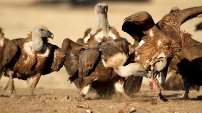 Buitres India dieta mortal
