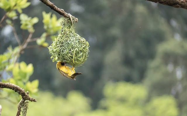 Puzzle of weaver bird in duckweed