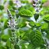 तुलसी की उत्पति तुलसी से जुड़ी पौराणिक कथाए और, तुलसी के गुण-Benifits Of Tulsi Plant
