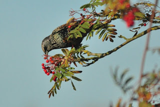 Starling in rowan tree
