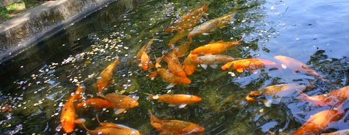 Mengatasi Hama Penyakit pada Ikan Mas