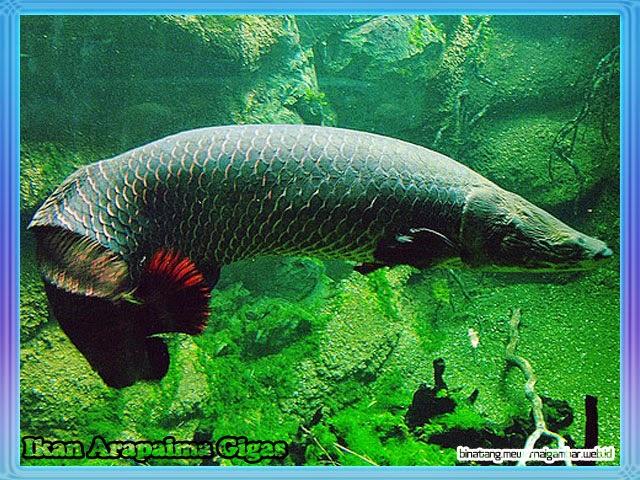 gambar ikan arapaima gigas