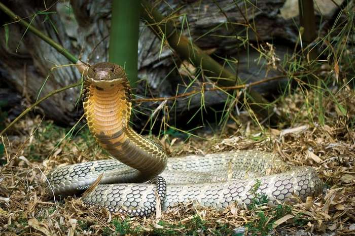 The Indian cobra