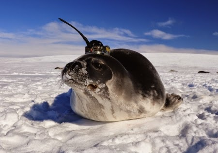 A Weddell seal with a conductivity-temperature-depth tag on its head. (Credit: Dan Costa, University of California at Santa Cruz) Click to Enlarge.