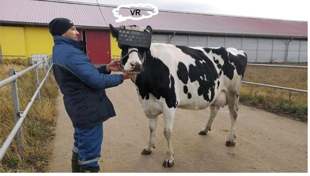 الابقار في روسيه ترتدي نظاراة الواقع الافتراضي VR