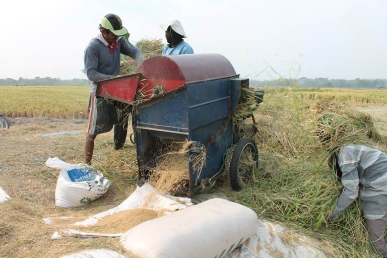 Petani Ngawi merugi karena harga gabah anjlok