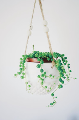 String of pearl hanging plant