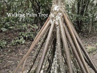 Walking Palm Tree