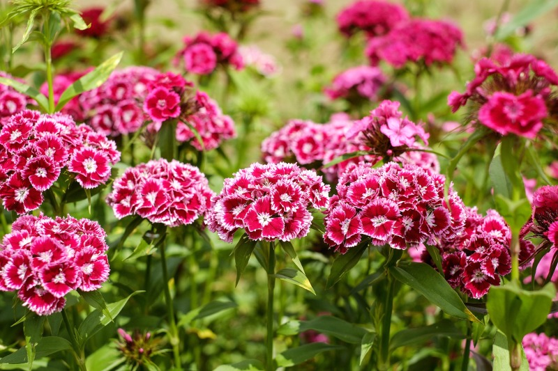 "Clavel ""Sweet William"""