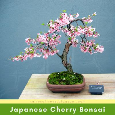 Japanese Cherry Bonsai