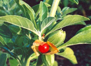 HEALTH BENEFITS of ASHWAGANDHA (Withania Somnifera) अश्वगन्धा