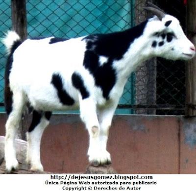 Foto de un cabrito del Parque de las Leyendas - macho pequeño. Foto de la cabra de Jesus Gómez