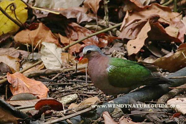 langkawi birdwatching guide