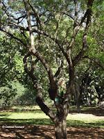Be-still tree, Foster Botanical Garden - Honolulu, HI