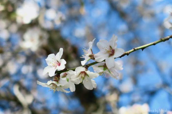 マドリードのレティーロ公園に咲く桜ににたアーモンドの花