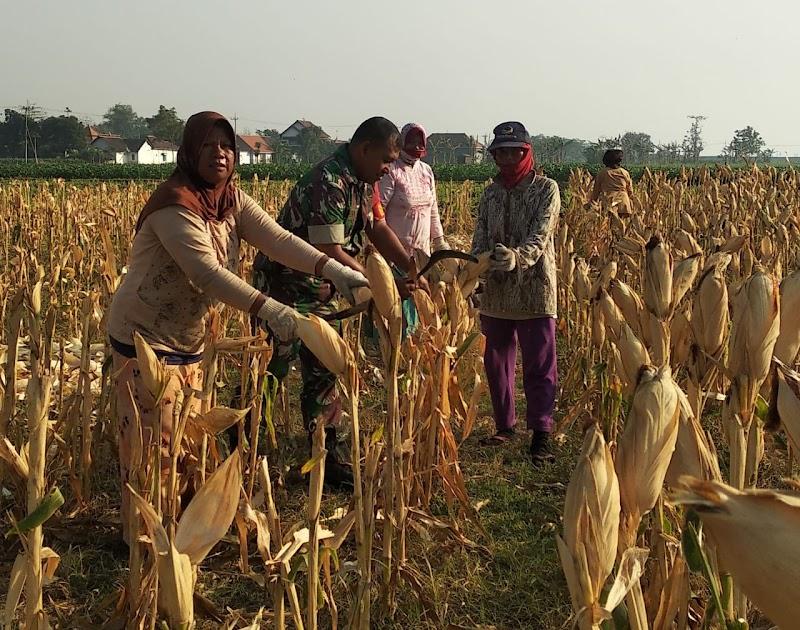 Babinsa Desa Sudimulyo Dampingi Petani Panen Jagung