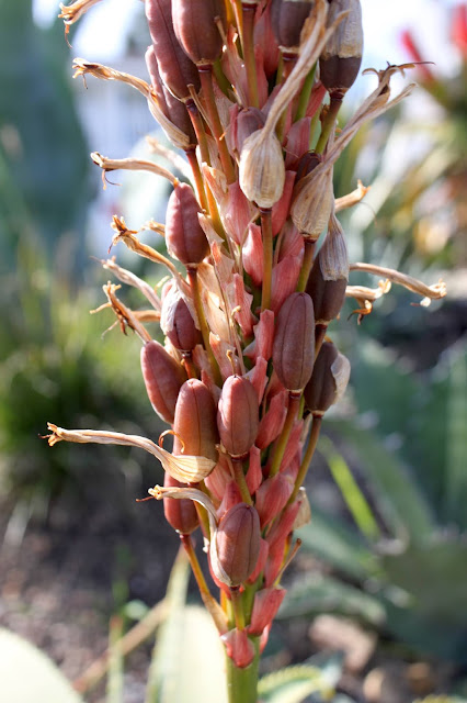 Aloe pluridens bloom gone to seed