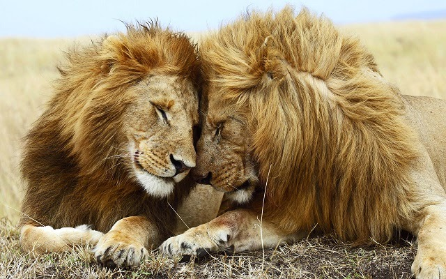 two adult lions