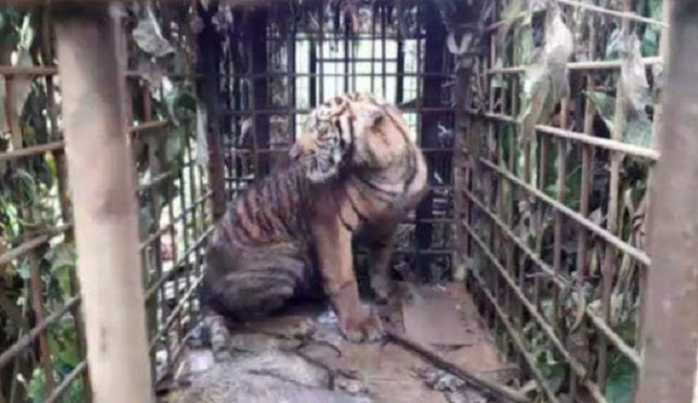 1 Harimau Sumatera Ditangkap, Petani Dilarang Berkebun Dikhawatirkan Induknya Ngamuk