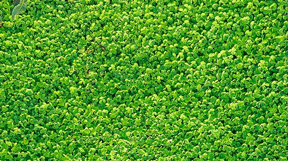 Enrich soil in the off season with clover cover crops