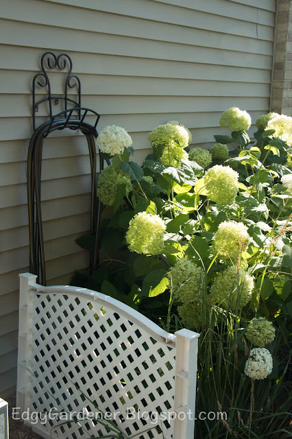 'Annabelle' Hydrangea too close to the hose Edgygardener.blogspot