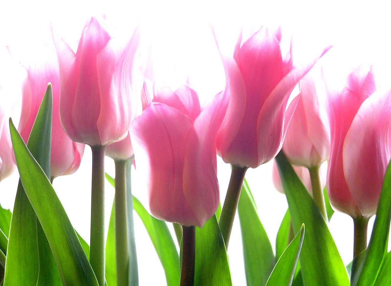 Tulip HD Flowers