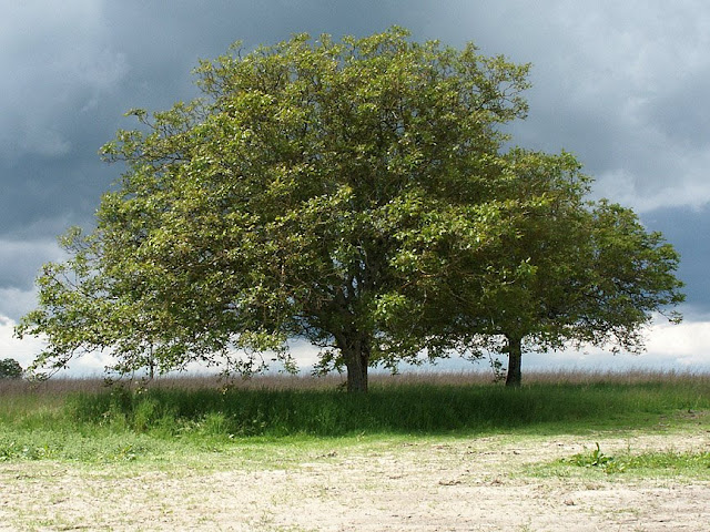Walnut tree in a field, Indre et Loire, France. Photo by Loire Valley Time Travel.