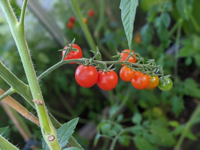 Reife, Halbreife und Unreife Tomaten am Strauch