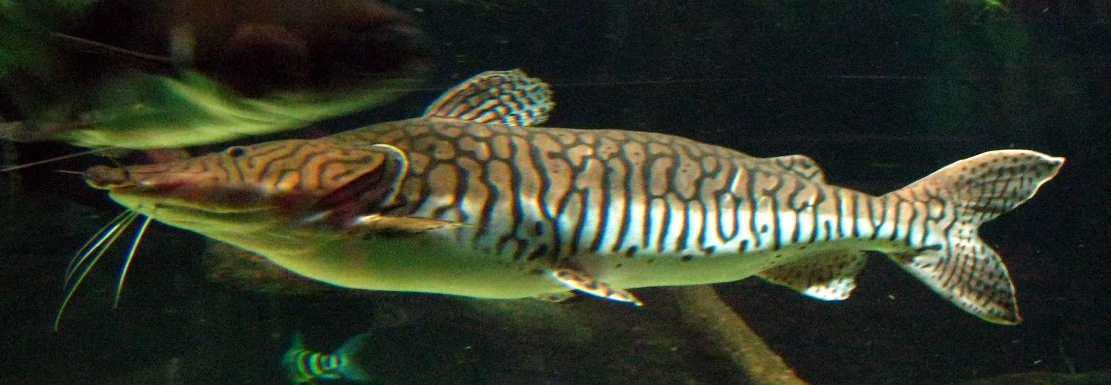 Peixe Pintado ou  Surubim (Pseudoplatystoma fasciatum)