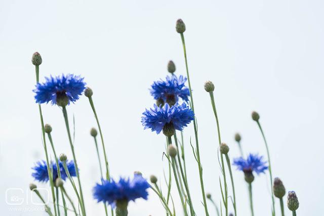 Centaurea cyanus, blue cornflower