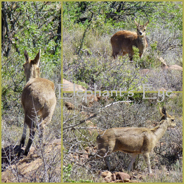 Klipspringer (rock jumper) Bottom left you see her standing on tiptoe