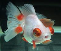 Telescope Eye/Demekin Goldfish