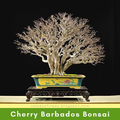 Cherry Barbados Bonsai