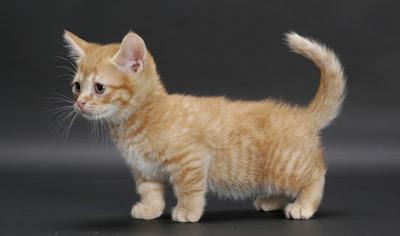 Watak Kucing Munchkins