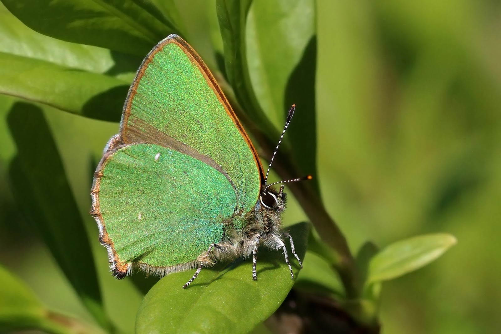 Insects: Green hairstreak (Callophrys rubi) 3