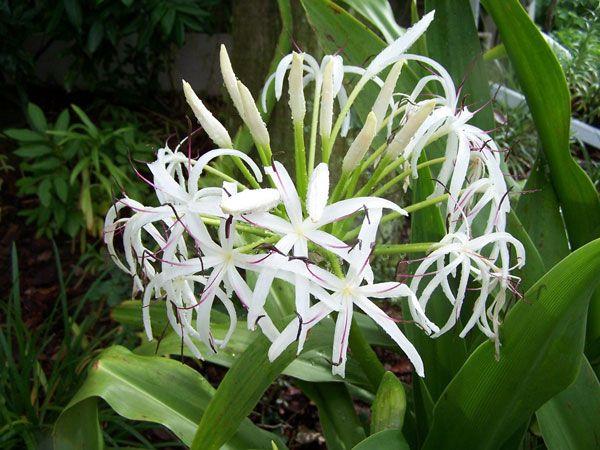 Náng Hoa Trắng - Crinum asiaticum - Nguyên liệu làm thuốc Chữa Tê Thấp và Đau Nhức