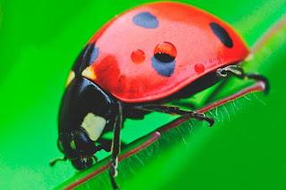 4ac572c761ae Estas mariquitas ( rojo y puntitos negros) son las más comunes