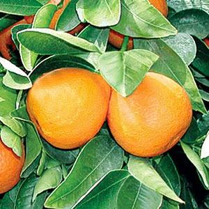 Gold Nugget Mandarins