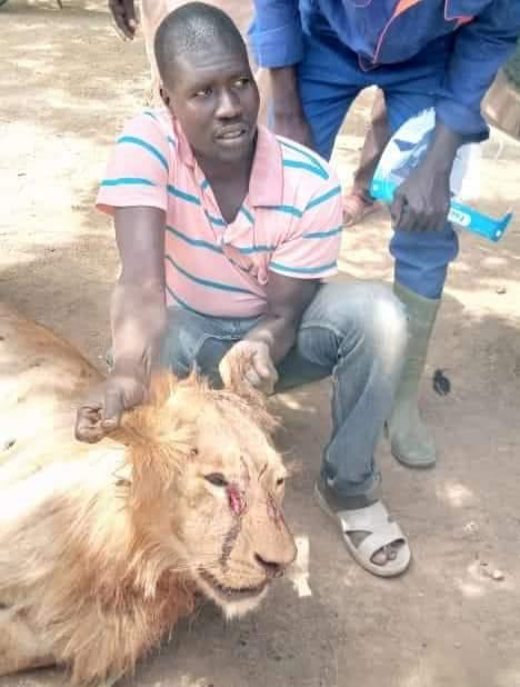 Lion Killed In Borno Town After It Killed Some People And Injured Others (Photos)