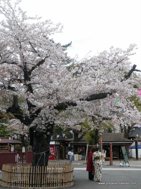 floración del cerezo en Kawagoe