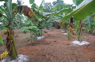 pemupukan pohon buah pisang
