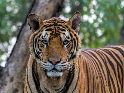 बाघों के गलियारे, Tigers Corridors