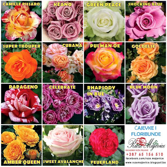 Prodaja sadnica ruza BiH cajevke , floribunde mnogo cvjetnice