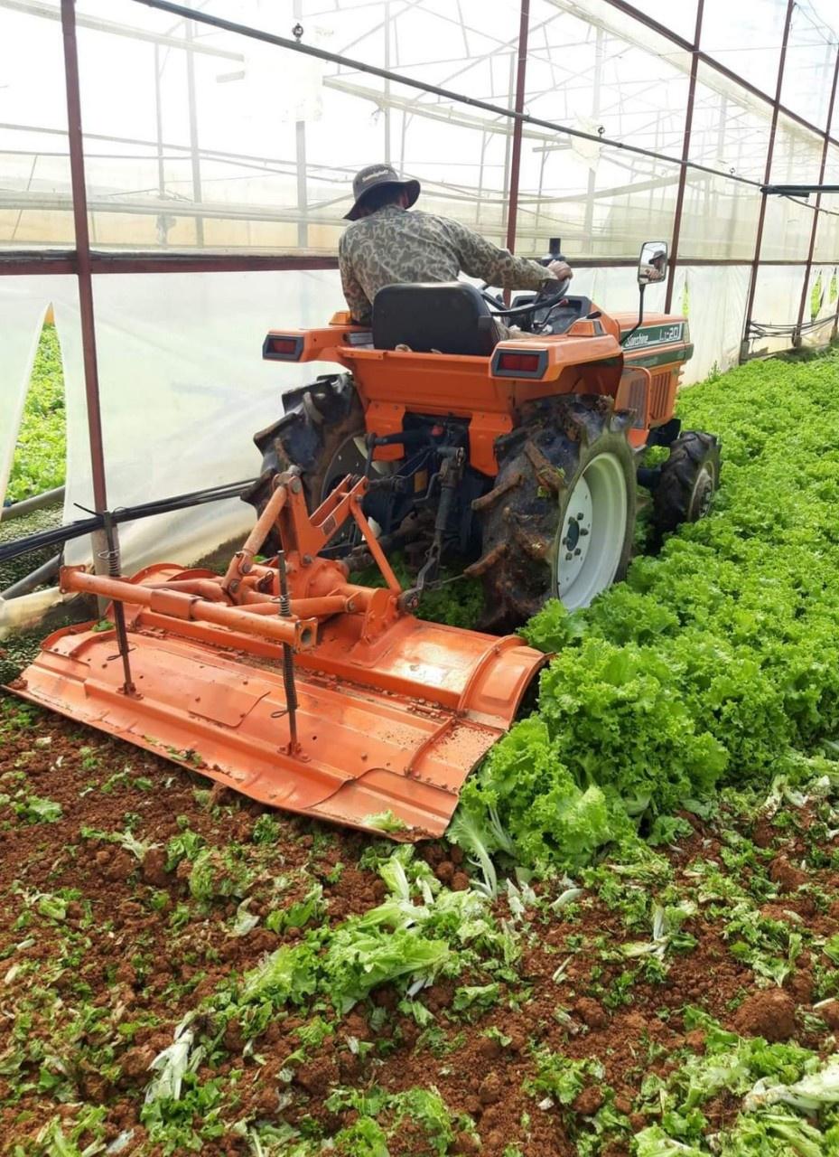 Nông dân Đà Lạt phấn khởi xuống giống rau ngắn ngày nhưng đến khi thu hoạch không bán được phải cày bỏ làm phân xanh. Ảnh: Lâm Viên