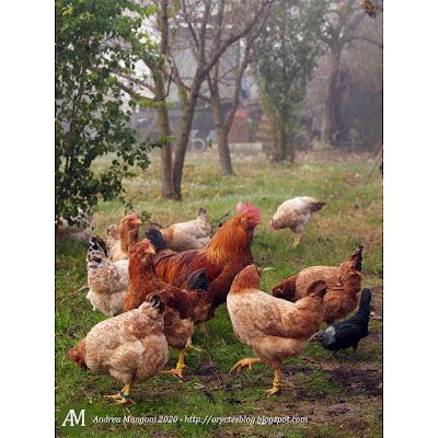 Gruppo di galline Boffa, anno 2009