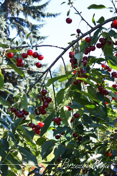wiśnie owoce na drzewie