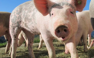 सुअर पालन की जानकारी ▷ some facts about pig in hindi
